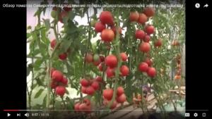 Обзор томатов Сибирский сад,подзимние посевы,сидераты,подготовка земли под рассаду