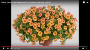 Посев картофеля семенами,обзор семян томатов и цветов