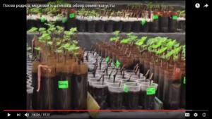 Посев редиса, моркови и шпината, обзор семян капусты